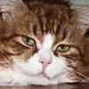 luchecon: (рыжий кот)