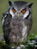 maor22: (сплюшка, сова)
