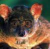 narumov: (lemur)
