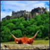 theldara: A Highland Coo (coo, scotland, stirling)