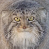 signaturefish: A Pallas' Cat stares cautiously, but supportively, at you. (pallas_cat, vigilance)
