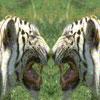 iti: (тигртигр)