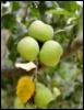 nelly_z: (яблоки)