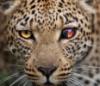 bastdazbog: (leopard)