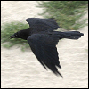 dragoness_e: Raven on the wing (Raven on the wing)