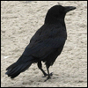 dragoness_e: Raven strolling (Raven strolling)