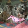 bigmacbear: Our Cairn terrier Brandy, wearing a pink bandanna, laying on a blanket with an Arizona pattern (Brandy)