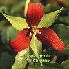 trilliumgrl: (Red Trillium)