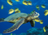 towage: (черепаха)