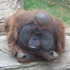 iric71: (Орангутан)