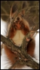 tash_g: squirrel (squirrel)