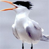 anuran: (Little Tern)