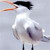 anuran: (Little Tern)