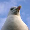 anuran: (seagull)