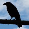 anuran: (crow)