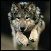 frejaha: (волк)