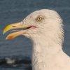 topaz: (gormy gull)