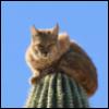 anima_online: (bobcat cactus)