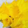 gerric: (Daffodil)