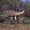 ljplicease: (emu)