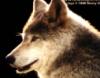 nedogurok: (Wolf)