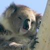 annta: (koala)