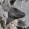 fivemack: (iguana)
