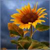evel_lin: (Sunflower)