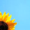 evel_lin: (Sunny sunflowers)