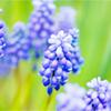 evel_lin: (Hyacinth)