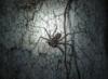 gurthaew: (Spider)