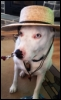 wilhelmina_d: Xander the dog wearing a hat (X-dog)