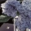 lee_bella: (Hydrangea)