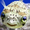 orange_smaug: (Porcupinefish)