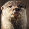 gueleise: otter just looking (pic#11224717)