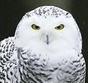 arguchik: (whiteowl)