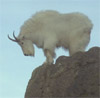 ravencallscrows: (mountaingoat)