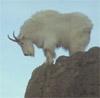 ravencallscrows: (mountaingoat)