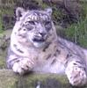 ravencallscrows: (snowleopard)