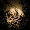 xenith: (Moon behind trees)