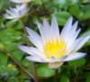 raatkerani: (lotus)