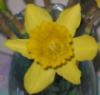adelheid_p: (Daffodil)