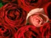 redsage: (roses)