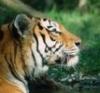 earendil31: (tiger)