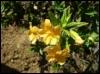 mimulus_borogove: (sticky monkey flower) (Default)