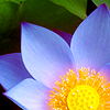 sylvan_being: (nature-blue lotus)