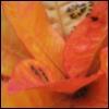 elettaria: (Croton)