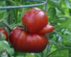 gailmom77: (tomato duck)