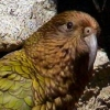 keastree: (Another Fine Kea)