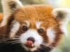 lanapanda: (red panda)